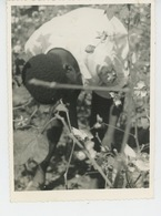 PHOTOS ORIGINALES - ANNÉES 60 - AFRIQUE - REPUBLIQUE CENTRAFRICAINE - Récolte Du Coton - Afrique