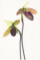Orchidée Paphiopedilum Sukhakulii (2 Scans) - Flowers