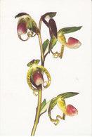 Orchidée Paphiopedilum Gigantifolium (2 Scans) - Flowers