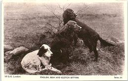 Animals - Dogs, English, Irish And Scotch Setters, Real Photo - Dogs