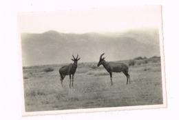 Antilopes Topi.Nyamushengero,Plaine Du Lac Albert - Congo Belge - Autres