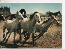 Cpa.Folklore.En Camargue.Crinière Au Vent.1973 - Folklore