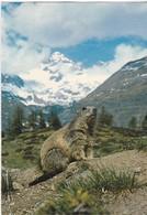 Alpenmurmeltier  -Marmotte Alpine - Animaux
