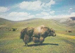 Mongolia Buffalo - Mongolie