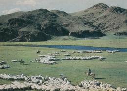 Mongolia Sheep Herds - Mongolie