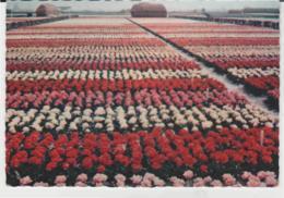 Postcard - Bollenvelden - Holland, Bulb Fields - Posted 31st March 19620  Very Good - Postcards