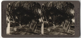 Stereo-Fotografie American Stereoscopic Co., New York, Ansicht Florida, Coconut Palms - Stereo-Photographie