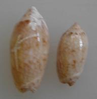 Oliva Reticularis (lot De 2) Martinique 24 Et 32mm F/F++ N5 - Coquillages
