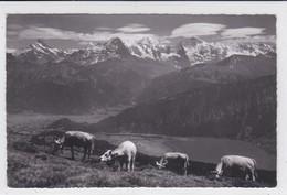 Beatenberg- Niederhorn : Weidende Kühe. Vaches Au Pâturage - Animaux & Faune