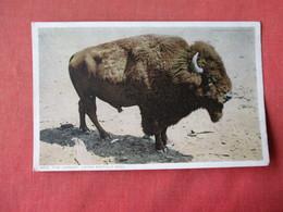 Largest Living Buffalo Bull      -    Ref 3164 - Animals