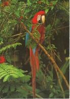 CARTE POSTALE - GUYANE - Perroquet Ara - Editions GUYANE PRESSE DIFFUSION - Guyane