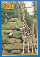 ANIMAUX - 72 - LA FLÈCHE - ZOO DU TERTRE ROUGE - GIRAFES - PUBLICITÉ 1991 - GAGNEZ 100 JOURNÉES NATURE - VERSO - Girafes