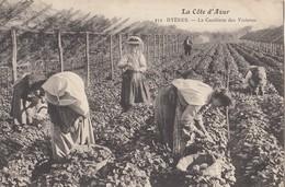 HYERES: La Cueillette Des Violettes - Hyeres