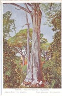 BRASIL Brazil Brésil - AMAZONE : Un Jéquiliba - CPA Colorisée  / Tree Arbre Bome Boom Albero árbol - Brésil