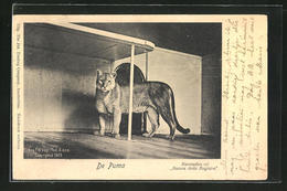 AK Puma Im Käfig - Tiger