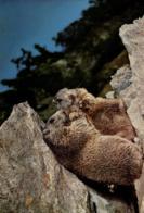 C 2486 - Marmottes - Animaux & Faune
