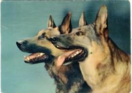 CANI PASTORE TEDESCO  Alsaziano  German Shepherd Dog - Chiens