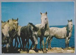 FR.- EN CAMARGUE. Manade De Chevaux. Paarden. Ongelopen - Paarden