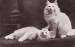 AO59 Animal Postcard - 2 White Cats - Gatti