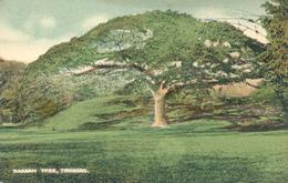 TRINIDAD  - Saman Tree / Regenbaum - Ansichtskarten