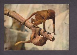 Museum National D'histoire Naturelle Paris . Parc Zoologique Et Menageries .Babouins . Afrique . - Singes