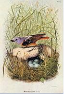 Monticola Saxatilis (05V) - Oiseaux