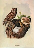 Otus Scopsatricapilla (07V) - Oiseaux