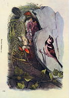 Passer Domesticus (10V) - Oiseaux
