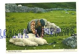 La Tonte Des Moutons. Sheep-Shearing In Ireland. Photo : Willis. John Hinde Original - Elevage