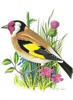 Carduelis Carduelis (15V) - Oiseaux