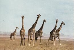 GIRAFFES - Girafes
