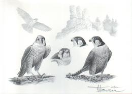 BUZIN / REPRODUCTION D'UNE ETUDE / FORMAT A4 / SIGNEE / FAUCON PELERIN - 1985-.. Birds (Buzin)