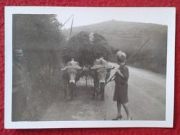 ANTIGUA FOTO FOTOGRAFÍA OLD ORIGINAL PHOTO BUEYES TIRANDO DE CARRO CARGADO BUEY BOEUF BOEUFS BEEF OXEN OX CARRIAGE VER - Fotos