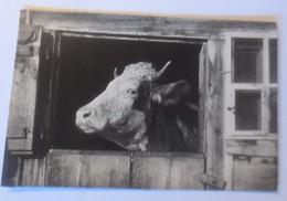 Tiere, Kuh, Bauernhof, Sehnsüchtiger Ausguck, 1912, E. Gyger ♥ (30259) - Tierwelt & Fauna