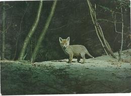 SVIZZERA--  ANIMALI  DI  MONTAGNA  VOLPACCHIOTTO--JUNGFUCHS  PETIT   RENARD    SUISSE-- NUMERO-86976 - Animali