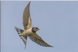1041. HIRONDELLE RUSTIQUE - Oiseaux
