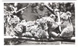 Australia - Koala - Koalas - Bears - Animals - Australien
