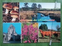 KOV 1148 - LIMOUSIN, PLATEAU DE MILLEVACHES, Champignon, Mushroom, COW, VACHE - France