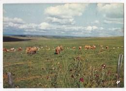 Carte Postale  Pâturage Sur Mes Monts Aubrac - Vaches