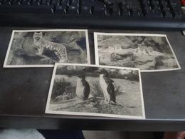 LION TIGRE PINGOINS  ZOOLOGICAL PARK EDINBURGH - Lions