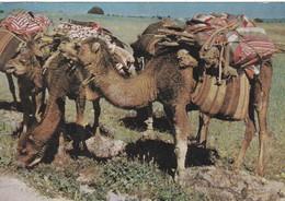 DJIBOUTI  CHAMEAUX A L'ETAPE. AFFRANCHISSEMENT ANNEE 1961. PUBLICITÉ AMORA - Somalie
