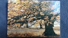 CPM SAUMANE 04 HTE PROVENCE AUTOMNE 1978 CHATAIGNIERS SOUS LE VENT ARBRE ED SIPHULA - Trees