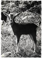 SCENES ALPESTRES : Chèvre - Ed. PHOTOGUY N° A 197 - Animaux & Faune