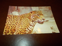 B713  Leopardo Non Viaggiata - Animali