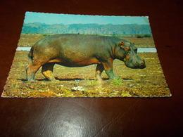 B713  Ippopotamo Non Viaggiata - Hippopotames