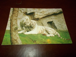 B713  Tigre Bianca Viaggiata - Tigri