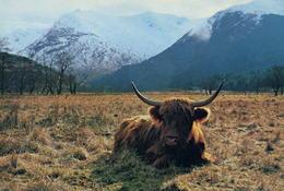 Highland Cattle, Hochlandrind, Kyloe, Schotse Hooglander (HD08) - Vaches
