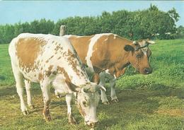 Cow, Vache, Kuh, Koe, Vaca (HD04) - Vaches