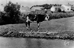 ICI C'EST VACHEMENT SYMPA - Vaches