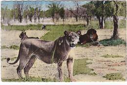 D1063 FAUNE AFRICAINE - HAUTE VOLTA - NIGER - LIONS ET LIONNES DANS LA BROUSSE - Lions